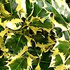 Ilex aquifolium - Golden Queen - Golden Holly