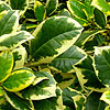 Ilex  X altaclerensis - Golden King - Variegated Holly, Ilex