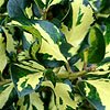 Ilex X altaclerensis - Ripley Gold - Variegated Holly, Ilex