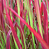Imperata cylindrica - Rubra - Japanese Blood Grass