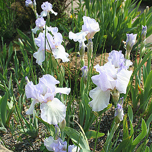 Iris - 'Happy Mood' (Bearde Iris)