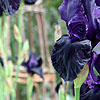 Iris - Licorice Stick