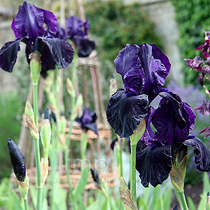 Iris - 'Licorice Stick'