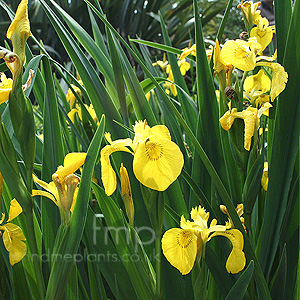 Iris pseudacorus (Yellow Water Flag)
