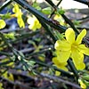 Jasminum nudiflorum - Winter Jasmine