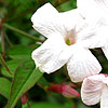 Jasminum officinale - White Jasmine
