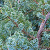 Juniperus chinensis - Blue Alps
