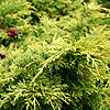 Juniperus x media - Gold Sovereign - Juniper