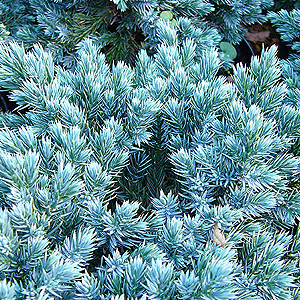Juniperus squamata - 'Blue Star' (Juniper)
