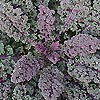 Kale - Red Bor - Ornamental Kale