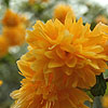Kerria japonica - Pleniflora - Batchelors Buttons, Japanese Marigold Bush