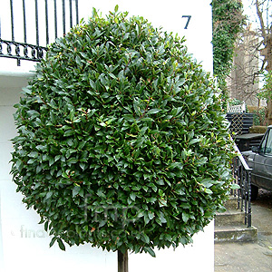 Laurus nobilis (Bay Tree): Information, Pictures ...