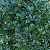 Laurus nobilis - Angustifolia - Willow Leaf Bay