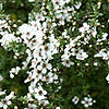 Leptospermum scoparium - Alfred Coates - Tea Tree, Leptospermum