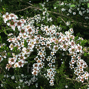Leptospermum flavescens (Tea Tree, Manuka, Leptospermum)
