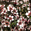 Leptospermum scoparium - Kea - Tea Tree,Manuka,  Leptospermum