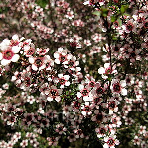 Leptospermum scoparium - 'Kea' (Tea Tree,Manuka,  Leptospermum)