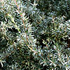 Leptospermum myrtifolium - Silver Sheen - Tea Tree, Leptospermum