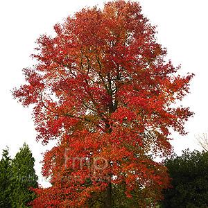 Liquidambar Styraciflua Sweet Gum Tree Information