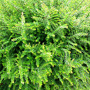 Lonicera Nitida Information Pictures Amp Cultivation Tips