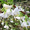 Lonicera - Winter Beauty