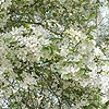 Malus baccata - Ornamental Crab Apple