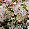 Malus floribunda - Profusion - Japanese Crab Apple