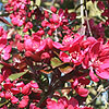Malus X purpurea - Lemoinei - Purple Crab Apple