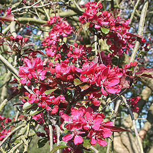 Malus X purpurea - Lemoinei (Purple Crab Apple)