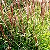 Miscanthus sinensis - Gaa - Elephant grass, Miscanthus