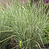 Miscanthus  sinensis - Morning Light - Elepahnt grass, Miscanthus
