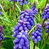 Muscari - Early Giant