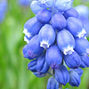 Muscari - Super Star - Grape Hyacinth
