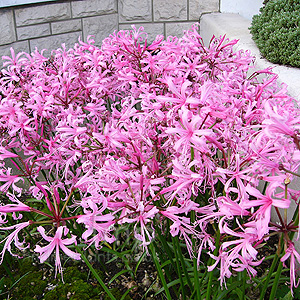 Nerine bowdenii (Cape Colony)