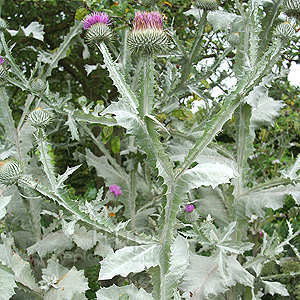 Onopordon acanthium (Scotch Thistle, Onopordon)