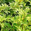 Osmanthus heterophyllus - Goshiki Tricolor - Holly Olive, Variegated Tea Olive, Osmanthus