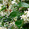 Osmanthus x burkwoodii - Holly Olive, Osmanthus