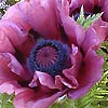 Papaver orientale - Patty May - Papaver, Poppy