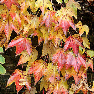 Parthenocissus tricuspidata (Boston Ivy, Japanese Creeper)
