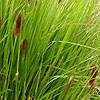 Pennisetum thunbergii - Red Buttons - Fountain grass