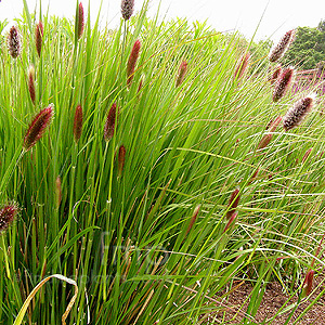 Pennisetum seeds red buttons ornamental grass seed for Best ornamental grasses for full sun