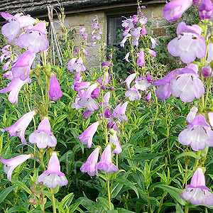 Penstemon - 'Catherine De La Mere' (Beard Tongue)