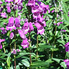 Penstemon - Sour Grapes