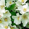 Philadelphus - Sybille - Mock Orange, Philadelphus