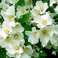 Philadelphus - 'Sybille' (Mock Orange, Philadelphus)