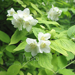 Philadelphus coronarius - 'Aureus' (Golden Mock Orange)