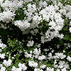 Philadelphus - Buckleys Quill - Mock Orange, Philadelphus