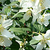 Philadelphus - Lemoinei Erectus - Mock Orange, Philadelphus