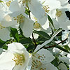 Philadelphus - Mont Blanc - Mock Orange, Philadelphus