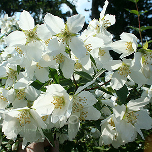 Philadelphus - 'Mont Blanc' (Mock Orange, Philadelphus)